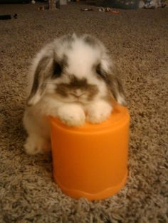 Mini Lop or Holland Lop Bunny - This little guy is smaller than the toy!
