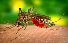 Chasser les moustiques naturellement!   Trucs et Bricolages