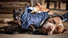 What a gorgeous pitbull family!   www.bullymake.com via: @theincredibullz