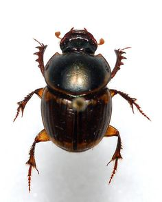 Gazelle Dung Beetle - Digitonthophagus gazella - female