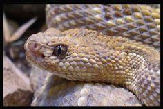 TrekNature   Aruba Island Rattlesnake Photo
