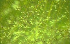Wild grasses in the breeze - a summer meadow