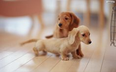 I love doxies!!  Image detail for -YouWall - Lovely Puppies Wallpaper - wallpaper,wallpapers,free ...