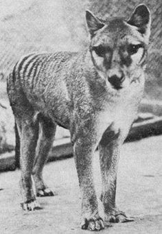 Back From The Dead? Reported Sightings Fuel Hope For Return Of Tasmanian Tigers : The Two-Way : NPR