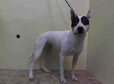 TO BE DESTROYED SUN, 3/9/14- Manhattan Center   ARIA - A0992023 *** DOH HOLD 2/20/14 ***  FEMALE, WHITE / BLACK, PIT BULL MIX, 3 yrs STRAY - ONHOLDHERE, HOLD FOR DOH-HB Reason BITEPEOPLE  Intake condition NONE Intake Date 02/20/2014, From NY 10455, DueOut Date 03/02/2014, https://www.facebook.com/photo.php?fbid=761384463874435&set=a.617938651552351.1073741868.152876678058553&type=3&theater