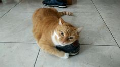 Shoe loving Cat