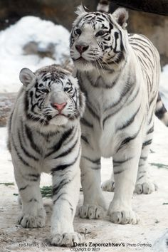 Tigers by ~red-FeNIks