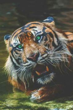 Brittish open i tigers skugga