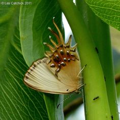 Butterfly (Helicopis cupido) | Flickr - Photo Sharing!