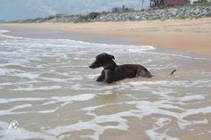 Flo the greyhound loves the ocean! And, the ocean loves Flo!