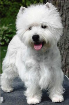 Tristan - Czarcrest Westies
