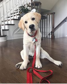 """212 Likes, 1 Comments - Labrador Retriever (@labradorretriever.tv) on Instagram: """"Oliver is absolutely adorable! Thank you for sharing and tagging us. We appreciate it ❤ - :…"""""""