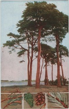 Postcard Friendship Friday 128 - trees | Vintage Postcards. Scots Pine.