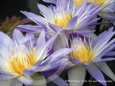 Purple Water Lilies Fine Art  Photo Print by BeckyTylerArt on Etsy, $20.00