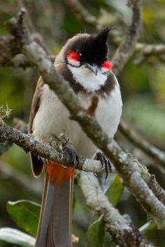 "mokacahuete: "" https://creativecommons.org/licenses/by-nc-nd/2.0/ - par Ananda Debnath Bulbul orphée, Condé - Bulbul orfeo - Red-whiskered bulbul - Rotohrbülbül - (Pycnonotus jocosus, Mauritius). ¤ """