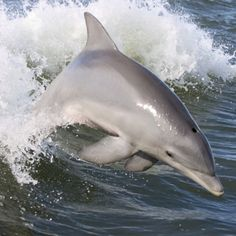 Bottle-nose dolphin catching a wave
