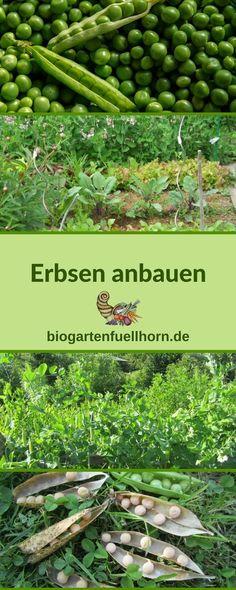 Ein tolle Mischkultur mit Erbsen für eine Gartenstart im April #gartenarbeit im April #erbsen anbauen #erbsen im Garten