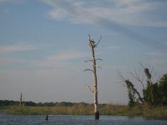 Heron nest June 6, 2012