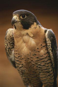 * Peregrine Falcon