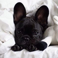"The French Bulldog Is So Famous, But Why? - Doggie Woof-The French Bulldog Is So Famous, But Why? – Doggie Woof Discover additional info on ""french bulldog puppies"". Look into our web site. Cute Puppies, Cute Dogs, Dogs And Puppies, Doggies, Corgi Puppies, Funny Dogs, Chihuahua, Animals And Pets, Baby Animals"