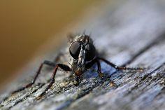 circle of life  barbarossa consuming fly