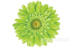Wholesale Lime Green Color Enhanced Gerbera Daisies
