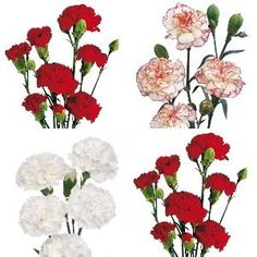 Christmas Pack Mini Carnation Flowers - 15 Bunches or 150 Stems