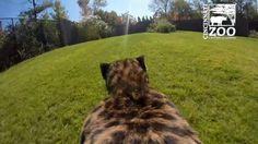 La carrera de un guepardo grabada desde su punto de vista [VIDEO]