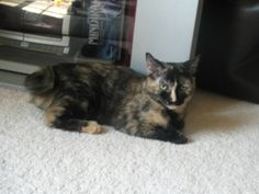 Arial is an adoptable Manx Cat in Marietta, GA. Arial is an adorable 18 month old Tortoiseshell Manx female with a curly stumpy tail and extra toes on her front feet. She is adorably playful and very ...