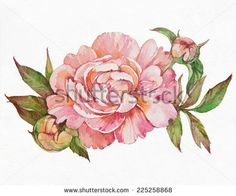 Watercolor pink peony. Peony on white background.