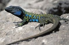 The Western Canary or scrub lizard (Gallotia galloti eisentrauti), in the north of Tenerife. El lagarto de Canarias Occidental o lagarto tizón Gallotia galloti eisentrauti, en el norte de Tenerife.