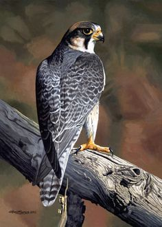 Lanner Falcon // Faucon lanier by WillemSvdMerwe - Pretty Birds, Beautiful Birds, Animals Beautiful, Owl Bird, Bird Art, Eagles Tattoo, Peregrine Falcon, Gig Poster, Mundo Animal