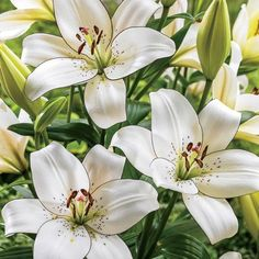 Lilium longiflorum x asiatic hybrid 'Eyeliner' Summer Flowers, White Flowers, Beautiful Flowers, Bulb Flowers, Flowers Nature, Summer Flowering Bulbs, Oriental Lily, Asiatic Lilies, Sun Perennials