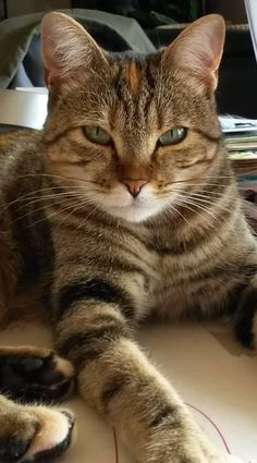 If your kitty is bored they may groom constantly with long intense strokes. If your kitty is bored they may groom constantly with long intense strokes. Animals And Pets, Baby Animals, Cute Animals, Pretty Cats, Beautiful Cats, Grumpy Cat Disney, Grumpy Cat Quotes, Gato Animal, Cat Body