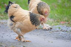 Buff Brahma Chicken- they are super sweet. Plus they are so big!