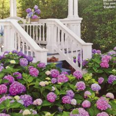 """""""Endless Summer"""" hydrangea. Repeat bloomers. Southern Living, May."""