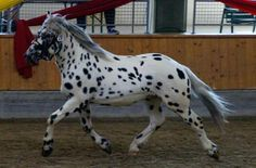 Not familiar with this one, the Noriker horse from the mountains of Austria All The Pretty Horses, Beautiful Horses, Big And Beautiful, Noriker Horse, Thoroughbred, Leopard Appaloosa, Horse Names, Draft Horses, Horse Love