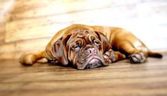 Free Image on Pixabay - Dog, Dogue De Bordeaux, Mastiff Cute Dog Memes, Funny Dogs, Cute Dogs, Bullmastiff, Cãezinhos Bulldog, Grumpy Dog, Bordeaux Dog, 15 Dogs, Mastiff Dogs