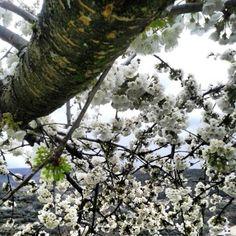 #Valle del Jerte #Primavera