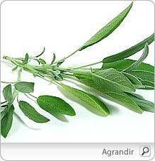 La sauge: profil santé, au fil du temps, usages culinaires, conservation, jardinage biologique, écologie et environnement, PasseportSanté.net