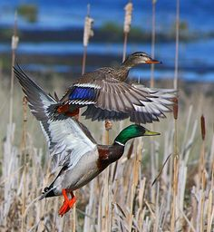 I love the colors...perfect ducks