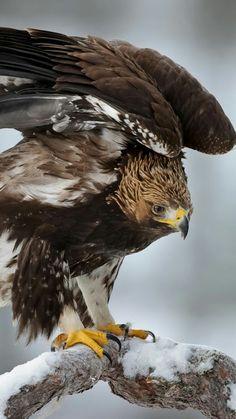 Ideas bird of prey raptors wings Pretty Birds, Beautiful Birds, Animals Beautiful, All Birds, Birds Of Prey, Eagle Bird, Bald Eagle, Bird Pictures, Animal Pictures