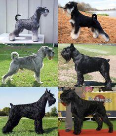 Schnauzer Breed, Giant Schnauzer, Schnauzer Gigante, White Miniature Schnauzer, Spaniel Dog, Spaniels, Dog Pin, Cavalier King Charles, Dog Training