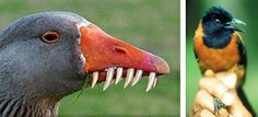 If you believe that a goose with Photoshopped teeth is real, do the world a favor and throw yourself into Interstate traffic right now. This ridiculously stupid photo (left) is supposedly a poisonous Hooded Pitohui. The Hooded Pitohui does exist and it is poisonous, but does not have teeth.... or look anything like this. The real Hooded  Pitohui (right) has a neurotoxin called homobatrachotoxin in its skin and feathers, which causes numbness and tingling in those touching the bird.