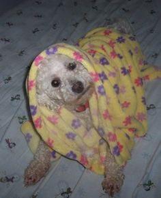 Bichon under blanket.
