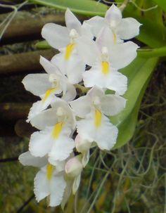 Orchid: Rodriguezia venusta
