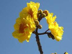 Cochlospermum vitifolium 'Florepleno' , double flower, Buttercup Tree