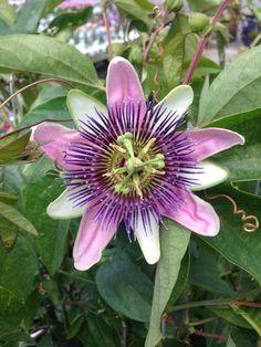 Passiflora Alatocaerulea