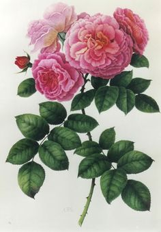 Botanical art print by Christine Stephenson