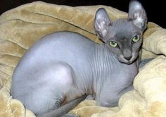 """A new breed of cat, called the """"Elf"""" because of the big, slightly curled ears. They have peach-fuzz hair. Elf Cat, Peach Fuzz, Sphynx Cat, The Elf, Cat Breeds, Cute Cats, French Bulldog, Cute Animals, Dogs"""